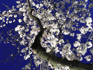 王子動物園の桜1