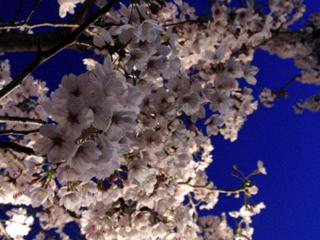 王子動物園の桜2