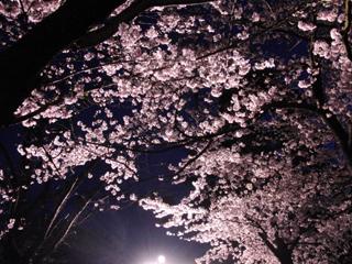 王子動物園の桜3