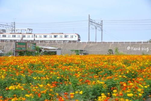 朝霞キバナコスモス 092
