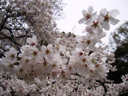 _Sakura2011.jpg