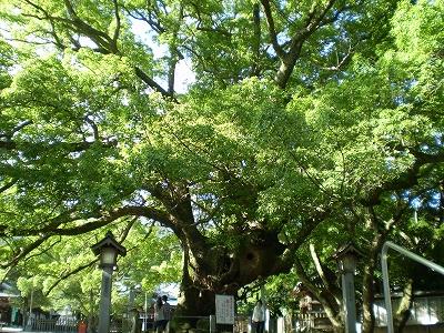 ご神木(樹齢千年以上と伝わる くすのき)
