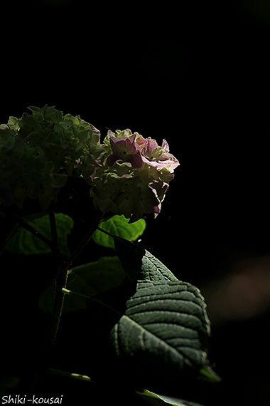 紫陽花・ほんのりピンク