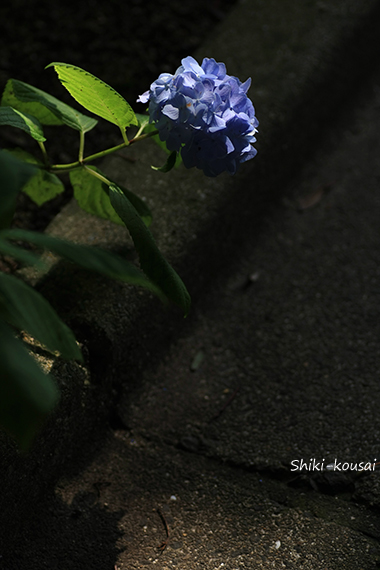 紫陽花と側溝