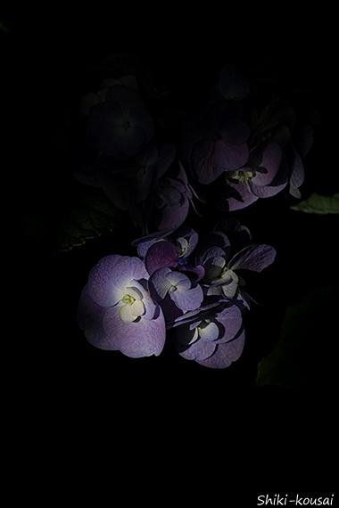 紫陽花・十二単