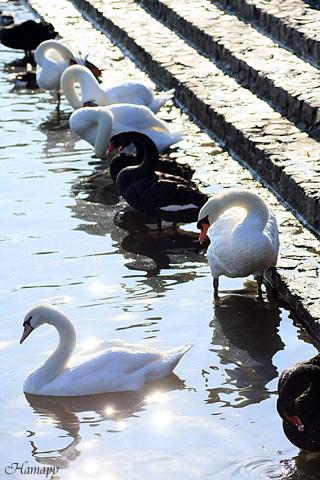 白鳥&黒鳥
