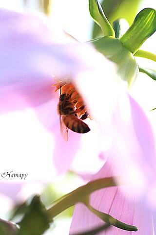 ミツバチと皇帝ダリア