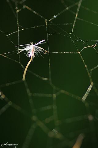蜘蛛の巣とタンポポの綿毛