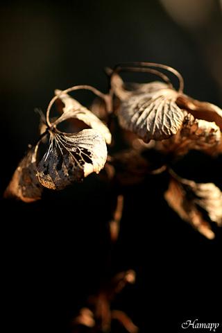 紫陽花の花跡
