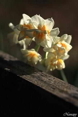 水仙・八重咲き