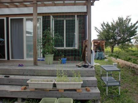 緑のカーテン デッキ 2011年7月24日