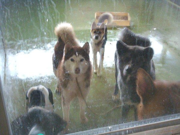 082収容犬たちハスキー♀