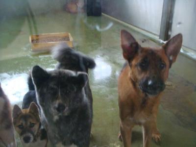 085収容された大型犬たち