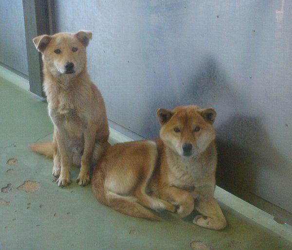 1月27日捕獲犬2頭