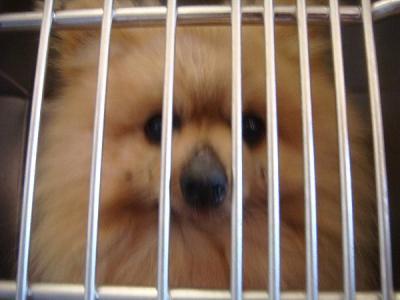 ポメ 老犬 2月5日