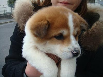 子犬白茶 茨城