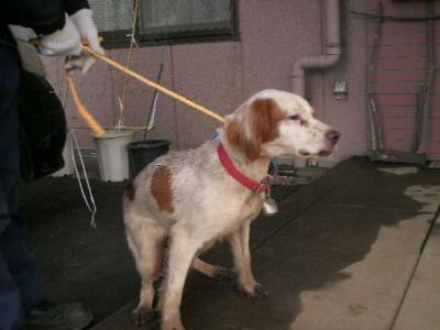 kt110124-012011年1月24日 2011年1月31日 香取市岩部 セッター 白茶 メス 中 赤色の布製首輪、鈴付き