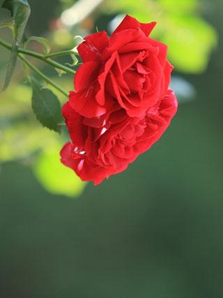 rose0623.jpg