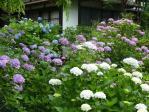 11/07/04 紫陽花