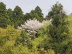 裏ヤビツの桜