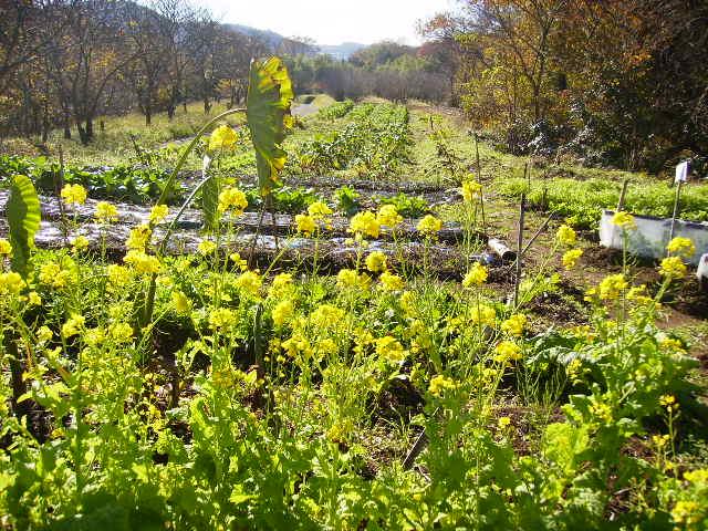菜の花と野菜畑79