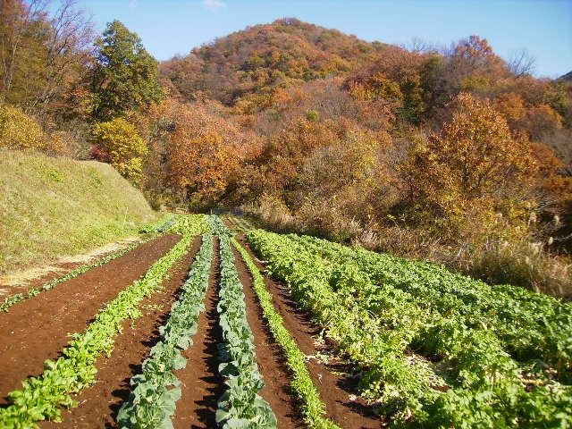 野菜畑と黄葉86