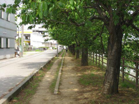 綾瀬川の桜並木