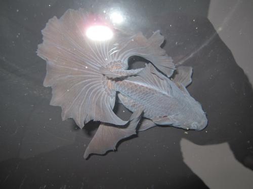 高知親魚-2