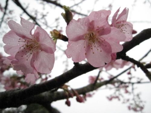 河津桜-2