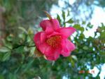 錦景苑の椿