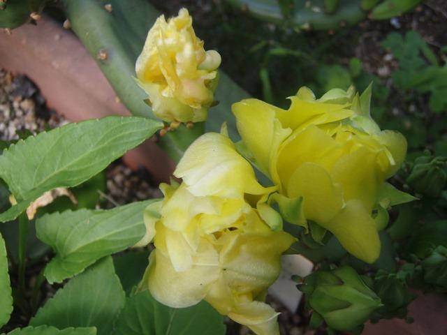 サボテンの花110623