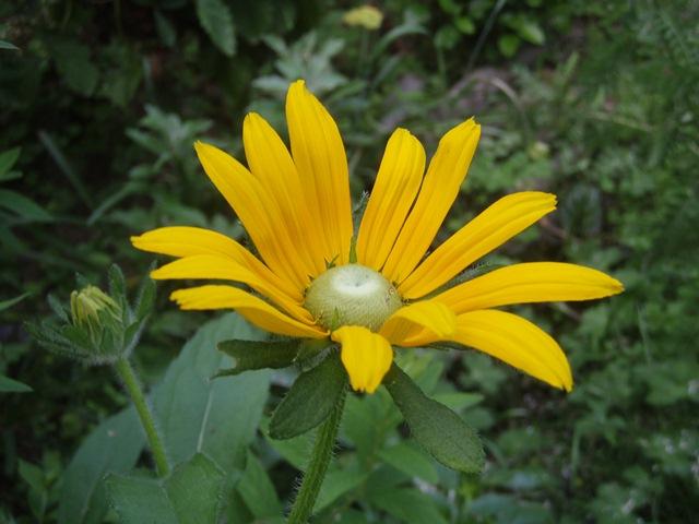 綺麗な黄花110624