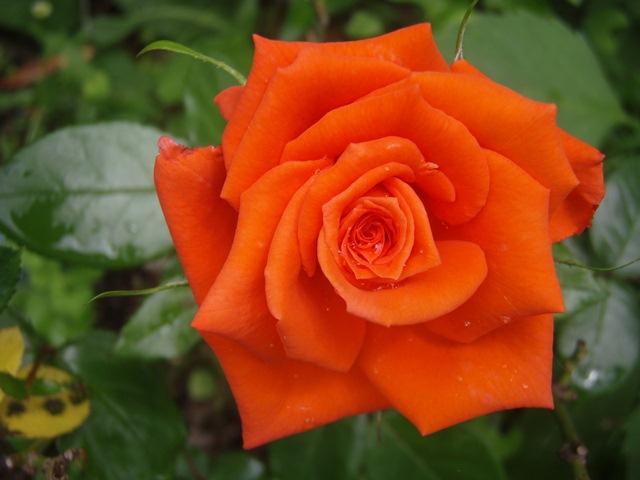 オレンジの薔薇黒☆110626