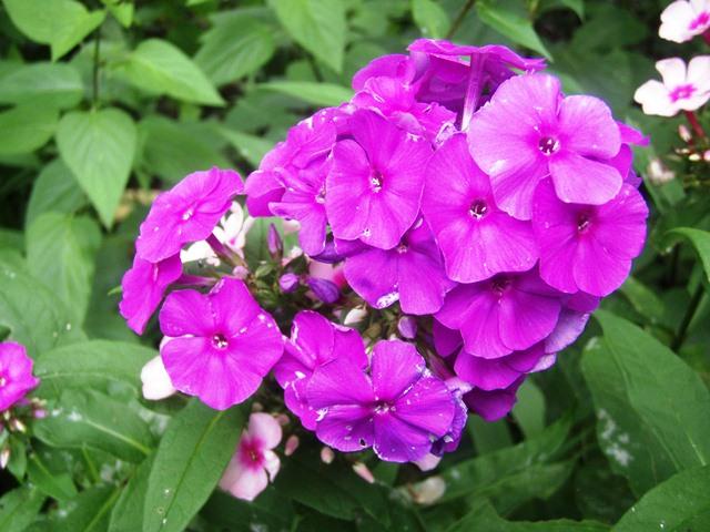 宿根フロックス紫110727