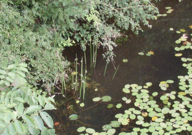 池のミクリ110728