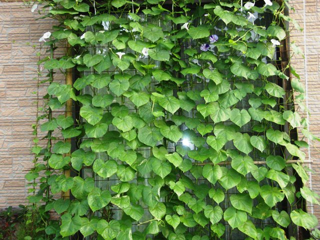 グリーンカーテン110730