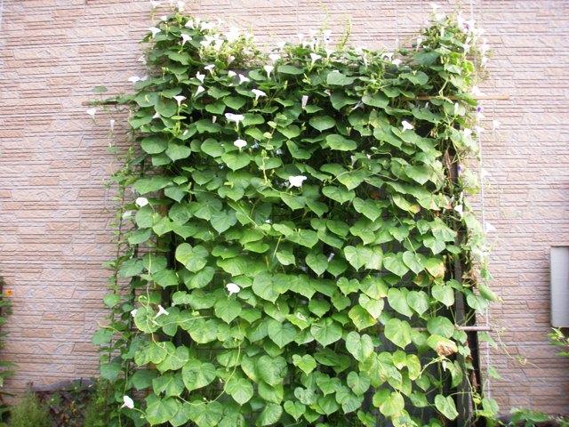 今朝のグリーンカーテン110812