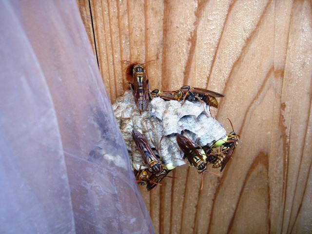 蜂の巣110818