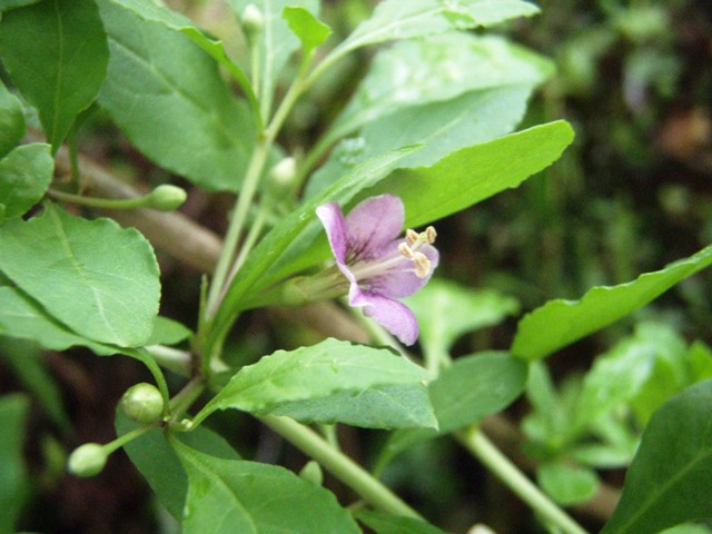 クコの花110920