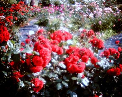 真赤なバラ:Entry