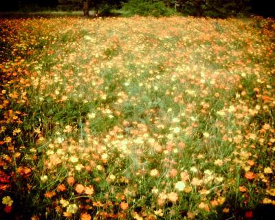 咲き乱れるキバナコスモス:Entry