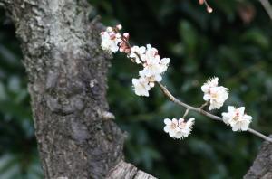 今年も梅の花を
