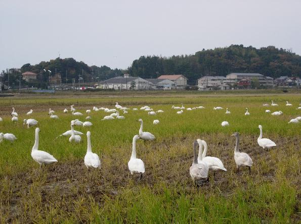 DSCN4971白鳥