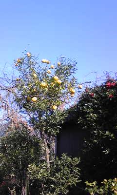 CAA1X1H7柚子