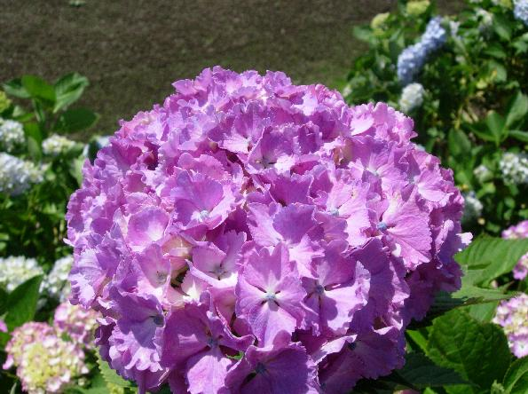 DSCN5219紫陽花
