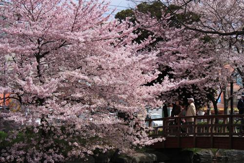 お気に入り桜