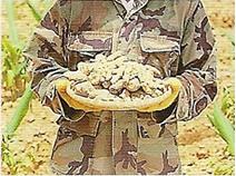 収穫されたウコン
