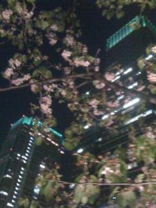 丸の内桜2