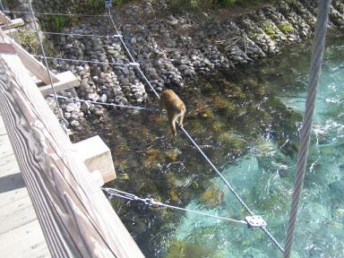 お猿さんも渡っている。