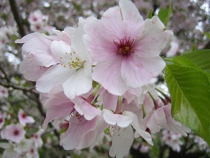 ソメイヨシノより花が大きめで真ん中が赤いのだ